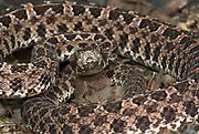 Slender Hog Nosed Pit Viper Snake, Porthidium ophryomegas, Central America, venomous, pitviper, portrait