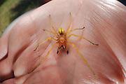 Spinnen-Experte Ingolf Rödel hat einen Ammen-Dornfinger (Cheiracanthium punctorium)  gefangen. (Das Tier ist bereits tot)