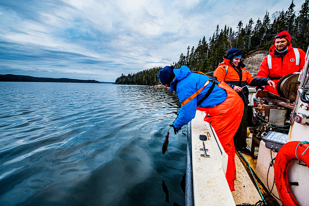 Researchers from the Department of Fisheries and Oceans Canada release a cod after tagging the fish to track his or her movements.
