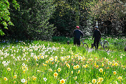 © Licensed to London News Pictures. 20/04/2016. Hampton Court, UK. People push bikes through the park.  People enjoy the sunshine and blossom in the Wilderness Garden at Hampton Court Palace in Surrey this morning, 20th April 2016. The UK is enjoying sunny weather today. Photo credit : Stephen Simpson/LNP