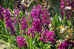 Hyacinthus orientalis 'Woodstock'