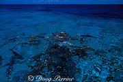 gray reef sharks, Carcharhinus amblyrhynchos, in feeding frenzy, Bikini Atoll, Marshall Islands, Micronesia ( Central Pacific Ocean )