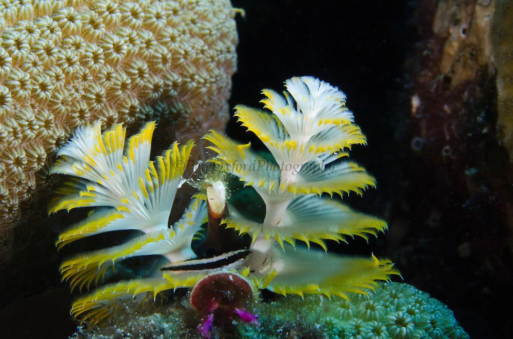 Christmas Tree Worm (Spirobranchus giganteus) on Star Coral (Montastraea cavernosa) & Blenny<br /> BONAIRE, Netherlands Antilles, Caribbean<br /> HABITAT & DISTRIBUTION: Shallow & mid-range coral reefs, walls and rocky areas. <br /> Florida, Bahamas & Caribbean.Great