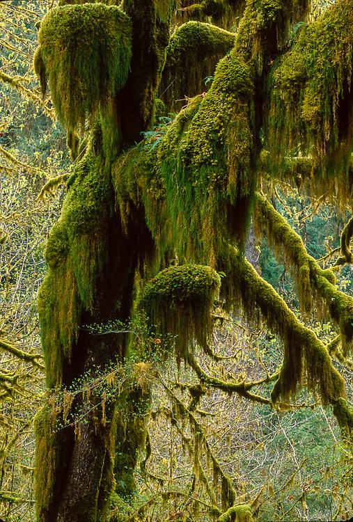 Bigleaf maple, Hoh Rain Forest, Olympic National Park, Washington, USA