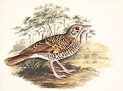 Scaly, or White's thrush (Zoothera dauma) is a member of the thrush family Turdidae.  18th century watercolor painting by Elizabeth Gwillim. Lady Elizabeth Symonds Gwillim (21 April 1763 – 21 December 1807) was an artist married to Sir Henry Gwillim, Puisne Judge at the Madras high court until 1808. Lady Gwillim painted a series of about 200 watercolours of Indian birds. Produced about 20 years before John James Audubon, her work has been acclaimed for its accuracy and natural postures as they were drawn from observations of the birds in life. She also painted fishes and flowers. McGill University Library and Archives