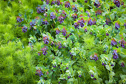 Cerinthe major 'Purpurascens' (honeywort) with nigella foliage
