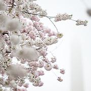 Nikon 200.0 mm f/4.0 #cherryblossoms #cherryblossomsDC