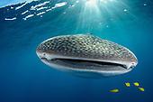 Indonesia Whalesharks