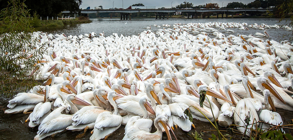 White Pelicans feed at City Park Lake in Baton Rouge, La.