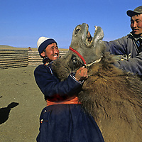 MONGOLIA, Darhad Valley. Herders wrestle with camel in order to put wooden peg through its nose -- the only way to guide and control it.