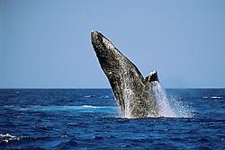 humpback whale, breaching, Megaptera novaeangliae, Hawaii, USA, Pacific Ocean