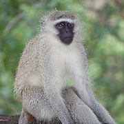 Vervet monkey (Chlorocebus pygerythrus). Kruger National Park. South Africa. Organization for Tropical Studies Trip 2009.