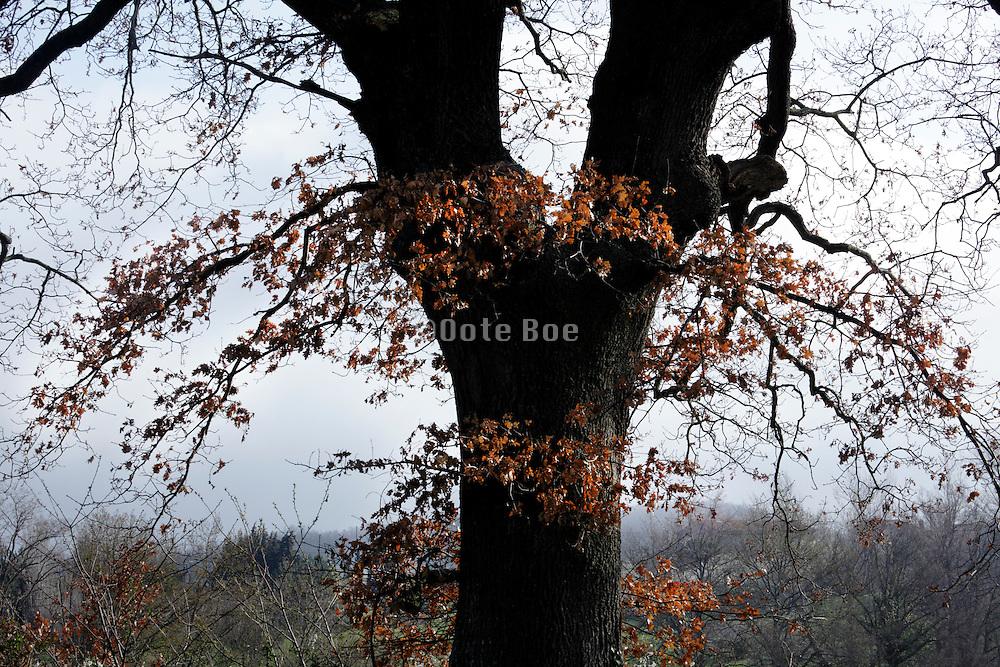 detail of oak tree