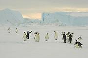 Emperor penguin, Aptenodytes forsteri, adults walking on fast ice, Snow Hill Island, Erebus and Terror Gulf, Antarctic Peninsula, Antarctica