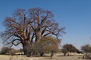 Chapman's Baobab (Adansonia digitata)<br /> near Gweta Village<br /> Makgadikgadi Pans, Kalahari Desert<br /> Northeast BOTSWANA<br /> Over 1000 years old one of the oldest in Africa