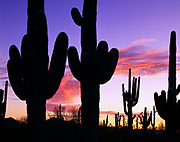 Saguaros, including one with a red-tailed hawk nest, silhouetted by sunrise, Agua Dulce Mountains, Cabeza Prieta National Wildlife Refuge, Arizona.
