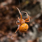 A marbled orb-weaver spider (Araneus m. marmoreus, in the family Araneidae) spins its silk in Letchworth State Park, near Portageville, New York, USA. Araneus marmoreus is found in most habitats of the world's northern continents. Two main forms of this species are known: the main (nominate) form Araneus m. marmoreus has an orange abdomen with black or brown marbling; while araneus marmoreus var. pyramidatus (found only in Europe, where the two varieties are seldom found together) is much paler, sometimes almost white, with a single dark blotch towards the rear of the abdomen. The female has a body length (excluding legs) of up to 14 mm, while the male is rather smaller at 9 mm.