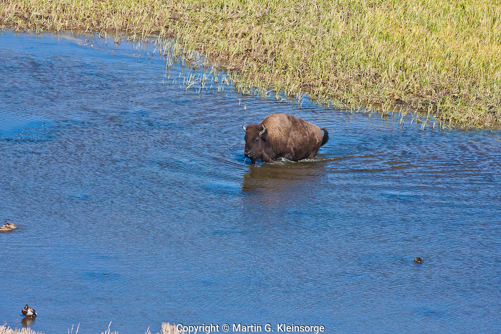 Bison (Bison bison) crossing the Yellowstone River in the Hayden Valley.  Yellowstone National Park, Wyoming, USA.