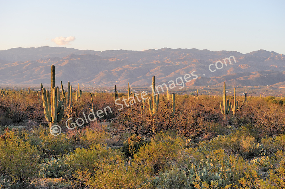 Saguaros can reach over 40 feet in height. They are slow growing taking almost 75 years to develop side arms. The signature plant of the desert southwest. <br /> <br /> The Saguaros bloom is the state flower of Arizona.    <br />   <br /> Range: Sonoran Deserts of Arizona and Mexico    <br />   <br /> Species: Camegiea gigantea