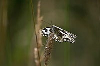 Marbled white butterfly at Newtown, Isle of Wight