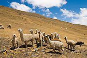 Alpaca and sheep herds graze on a bare hillside in the Q'eros region of the Cordillera de Paucartambo, Andes Mountains, Peru on September 16, 2005. The Q'eros, a Quecha people living in the Peruvian Andes, are considered the last direct descendants of the Incas and proudly maintain many of the ancient traditions.
