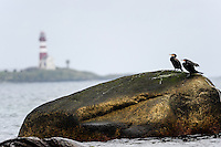 Norway, Klepp. Great Cormorant.