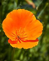 Orange California Poppy. Image taken with a Nikon N1V3 camera and 70-300 mm VR lens (ISO 180, 224 mm, f/5.6, 1/1000 sec).