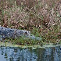 American Alligator (Alligator mississippiensis), in Merritt Island National Wildlife Refuge, Florida. Photo by William Drumm, 2013.
