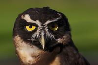 Peregrine Falcon face.