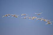 Tundra Swans (Cygnus columbianus), Alberta, Canada