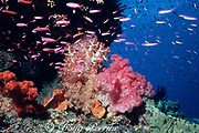 soft coral, Dendronephthya sp. and fairy basslets ( anthias ), Pixie Pinnacle, Ribbon Reefs, Great Barrier Reef, Australia
