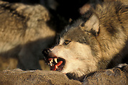 Timber or Grey Wolf, Canis Lupus, Minnesota USA, controlled situation, autumn, wolf pack on deer kill, growling, snarling, teeth
