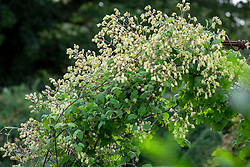 Clematis rehderiana AGM syn. Clematis buchananiana Finet and Gagnep, Clematis nutans Becket - Nodding virgin's bower - growing over an arch