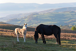 © Licensed to London News Pictures. 27/05/2021. Builth Wells, Powys, Wales, UK.Welsh mountain ponies and foals graze in the early morning sunshine on the Mynydd Epynt range near Builth Wells in Powys, Wales, UK. after a very cold night with temperatures dropping to 1 deg C in parts of Powys. Photo credit: Graham M. Lawrence/LNP