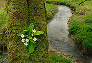 A Primrose, Primula vulgaris, growing on a mossy tree trunk