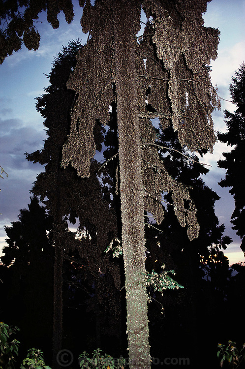 Fill flashed view at dusk of tall trees covered with butterflies at the Monarch butterfly reserve. Rosario, Mexico.