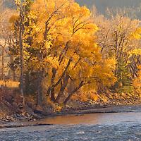 Fall-colored cottonwoods by Gallatin River,  near Bozeman Montana.