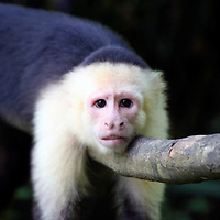 Central America, Costa Rica, Manuel Antonio. Capuchin, or White-Faced Monkey at  Manuel Antonio National Park.