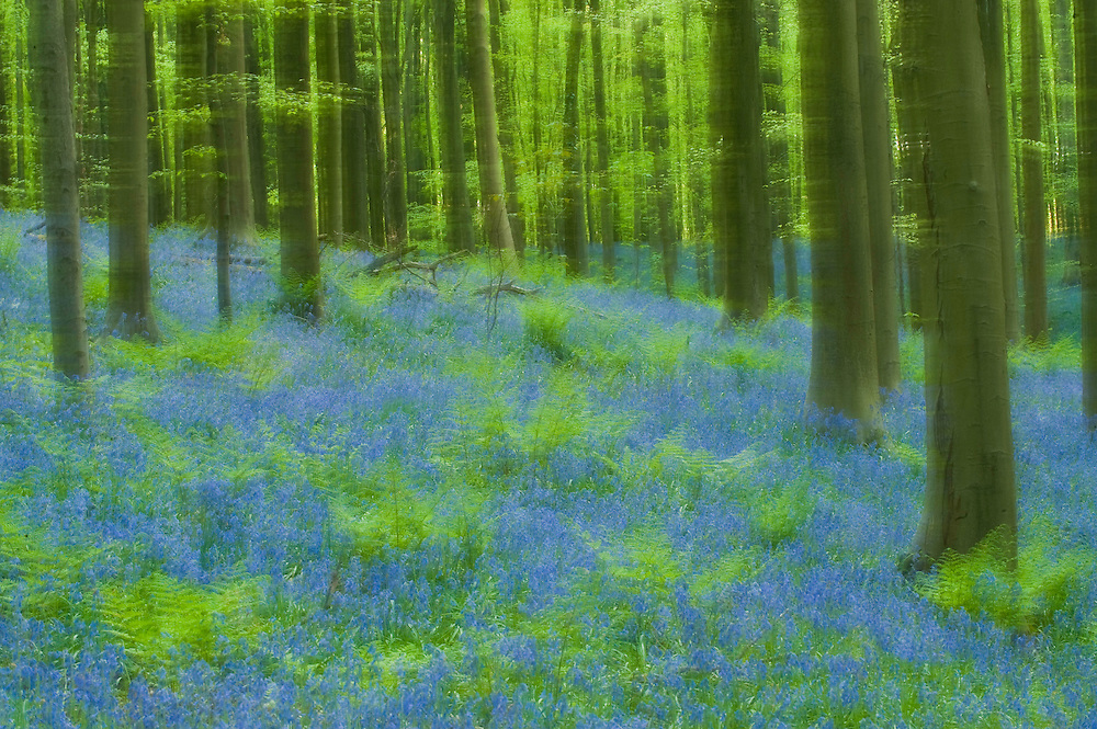 Hallerbos forest impression in spring with bluebells Hyacinthoides non-scripta and ferns, Belgium