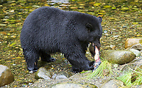 Black Bear (Ursus americanus) eating salmon,   Thornton Fish Hatchery, Ucluelet,  British Columbia, Canada