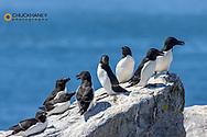 Razorbills at Machias Seal Island, Maine, USA