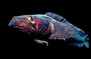 UNDERWATER MARINE LIFE EAST PACIFIC: Northeast FISH: Plainfin midshipman Porichthys notatus