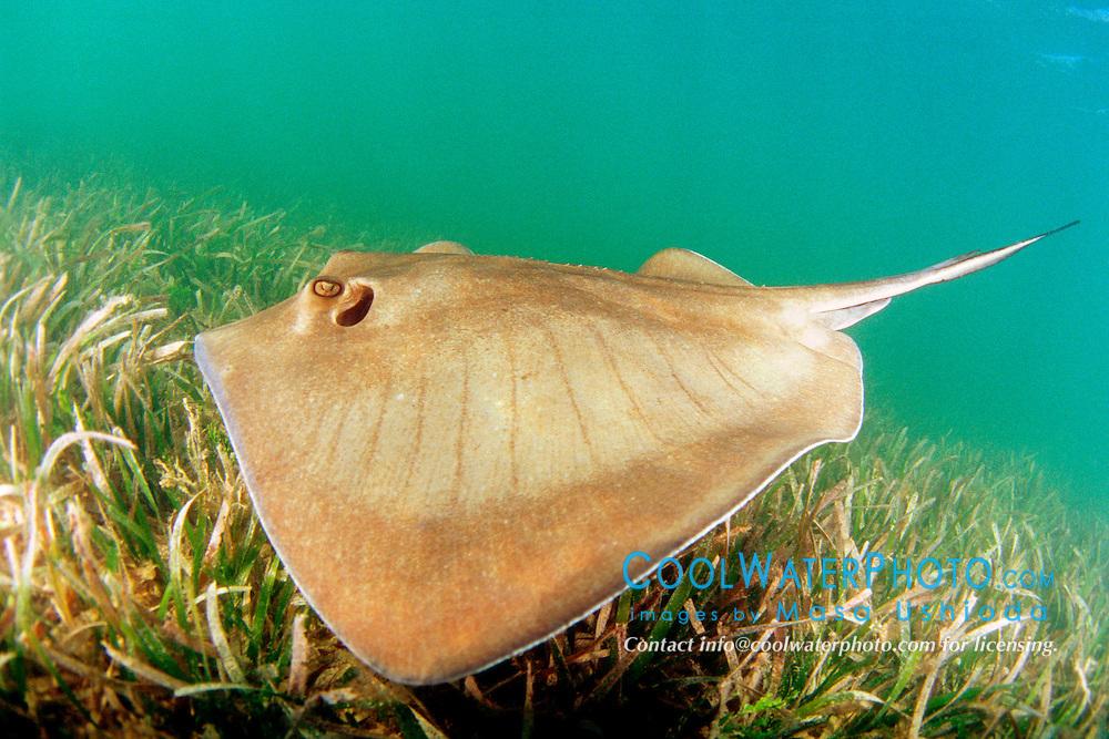 southern stingray, Dasyatis americara, swimming over seagrasses meadow of turtlegrasses, Thalassia testudinum, in shallow flats, Stiltsville, Biscayne National Park, Miami, Florida, USA, Caribbean Sea, Atlantic Ocean