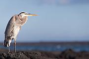 Great blue Heron -Ardea herodias-, Fernandina Island, Galapagos, Ecuador, South America