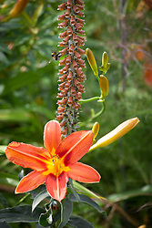 Hemerocallis 'Stafford' with Digitalis parviflora in the bronze border at Holt Farm. Day lily