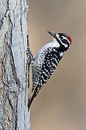 Nuttall's Woodpecker -  Picoides nuttallii - male