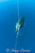 a dead Pacific sailfish, Istiophorus platypterus, is bill wrapped on a longline in open ocean offshore from southern Costa Rica, Central America ( Eastern Pacific Ocean )