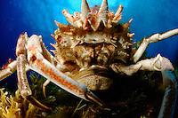 Spinous Spider Crab (Maja squinado)   Dreieckskrabbe, Gozo, Maltese Islands