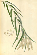 Eria paniculata From Plantae Asiaticae rariores, or, Descriptions and figures of a select number of unpublished East Indian plants Volume 1 by N. Wallich. Nathaniel Wolff Wallich FRS FRSE (28 January 1786 – 28 April 1854) was a surgeon and botanist of Danish origin who worked in India, initially in the Danish settlement near Calcutta and later for the Danish East India Company and the British East India Company. He was involved in the early development of the Calcutta Botanical Garden, describing many new plant species and developing a large herbarium collection which was distributed to collections in Europe. Several of the plants that he collected were named after him. Published in London in 1830