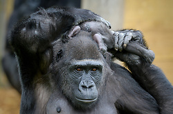 A baby Western lowland gorilla sits on her mother, Touni's head, at Bristol Zoo Gardens, where the keepers have revealed for the first time it's a baby girl and they are now appealing to the public to help name her.